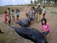 Villagers look at dying pilot whales stranded on the shore of Savu island in East Nusa Tenggara province on October 2, 2012. Forty-four pilot whales beached on the island, 41 have died and fishermen, navy and police officers are still struggling to keep three surviving whales alive