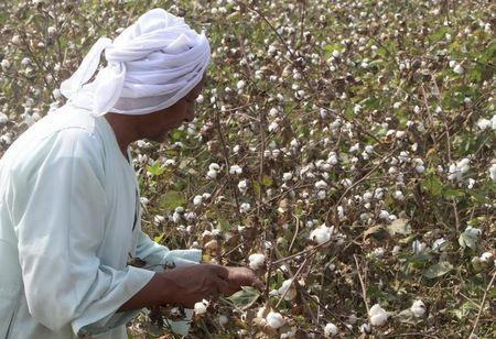 El Nawawy picks cotton on his farm in Qaha about 25 km (16 miles) north of Cairo