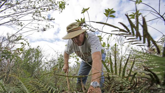 """In this Jan. 16, 2013 photo, Jim Howard of Cooper City, Fla., searches under the dense foliage in the Florida Everglades looking for pythons as part of the month long """"Python Challenge."""" Wildlife officials say more than 1,000 people signed up for the competition that began Saturday and ends Feb. 10. The state hopes the hunters will help researchers collect more information about the pythons. The large snakes are an invasive species and are considered a menace to Florida's swamplands. (AP Photo/Wilfredo Lee)"""