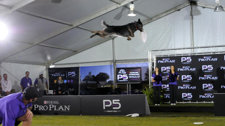 Purina Pro Plan Performance Team trainers put on a high-flying show during The Purina Pro Plan Canine Combine, on Wednesday, Jan. 30, 2013 in New Orleans, LA.  (Photo by Cheryl Gerber/Invision for Purina Pro Plan/AP Images)