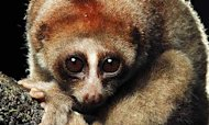 Poisonous Nocturnal Monkey Found In Borneo