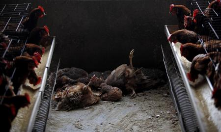 Dead chicken are seen at a poultry farm in the outskirts of Shanghai