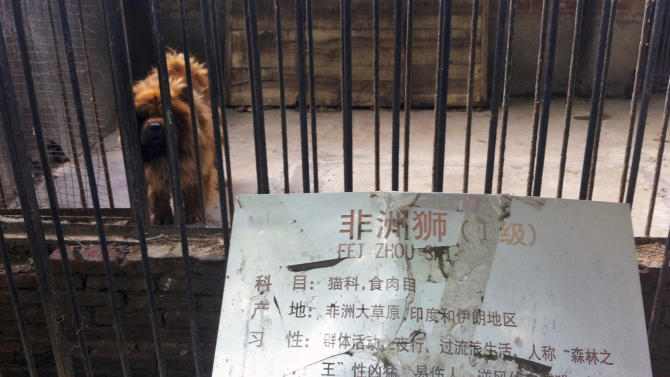 "In this photo taken Monday Aug. 12, 2013, a Tibetan mastiff looks out from a cage near a sign which reads ""African lion"" in Luohe zoo in Luohe in central China's Henan province. Reports say the zoo in the central China city of Luohe attempted to pass off a Tibetan mastiff as a lion. The large breed's trademark mane gives it a lion-like appearance, but its vocalizations are far closer to a woof than a roar. (AP Photo) CHINA OUT"