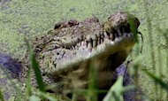 Crocodile Hunting Trips Pondered In Australia