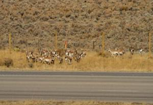 Pronghorn Adapt to New Animal Overpasses