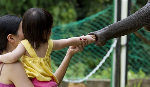 A young girl feeds an elephant nuts at the Kuala Gandah Elephant Conservation Center in Malaysia, Thursday, May 24, 2012. The conservation center is responsible for the translocation of elephants from areas of human encroachment in Peninsular Malaysia as well as home to orphaned elephants that were not part of the 600 relocated since it's inception in 1989. (AP Photo/Mark Baker)