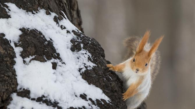 """In this photo taken on Monday, Feb. 3, 2014, a squirrel climbs a tree in Moscow's """"Neskuchny Sad"""" park in Moscow, Russia. One by one, the bushy-tailed residents of Moscow's parks have been disappearing. The problem: Russians have gone nuts for squirrels. City official Alexei Gorelov told the Associated Press on Wednesday that he has received multiple reports of squirrel poaching in local parks. In response, municipal authorities on Jan. 31 ordered bolstered security for all of Moscow's green areas. (AP Photo/Alexander Zemlianichenko)"""