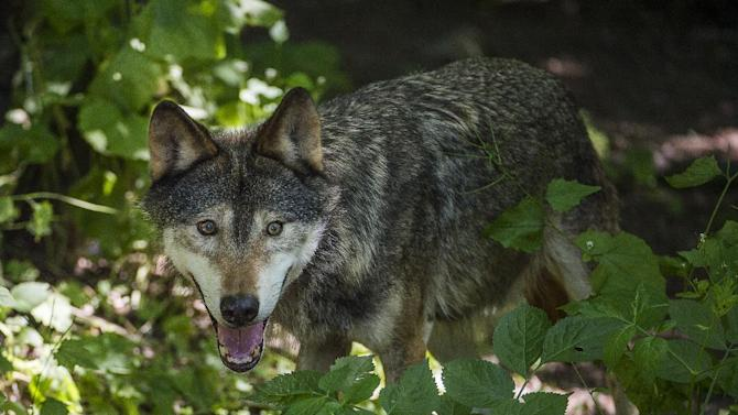 A young wolf pants in the shade at Stockholm's Skansen Zoo on Friday, July 3, 2015. Friday turned into the hottest day of the year so far, with temperatures soaring to 30C (86 F) in Sweden. (Jonas Ekstromer/TT via AP)   SWEDEN OUT