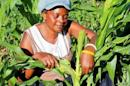 Small scale farmer Mutale Sikaona examines maize plants affected by armyworms in Keembe district