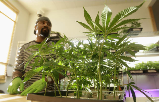 In this Feb. 1, 2011 photo, Harborside Health Center employee Gerard Barber stands behind medical marijuana clone plants at Harborside Health Center in Oakland, Calif. Law and order may soon be coming