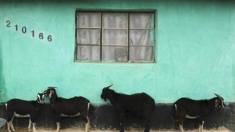 Goats shelter from the wind and rain along a wall of a home in the village of Mvezu, where former South African President Nelson Mandela was born