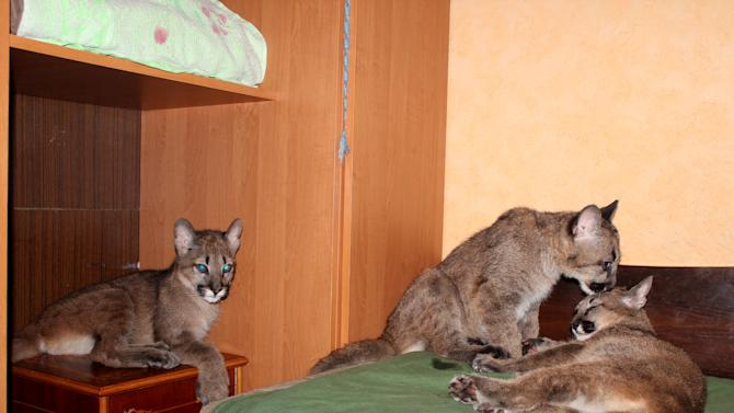 Three  four month old  pumas seen in Rasa Veliute's apartment  in Klaipeda, Lithuania, Friday, April 12, 2013.  23 year old Veliute, a volunteer at a private zoo in Klaipeda seaport says she took three cubs home six months ago when their mother refused to care for them. Veliute said Friday the pumas have grown fast and will have to be returned to the zoo this summer.  (AP Photo/ Ausra Pilaitiene)