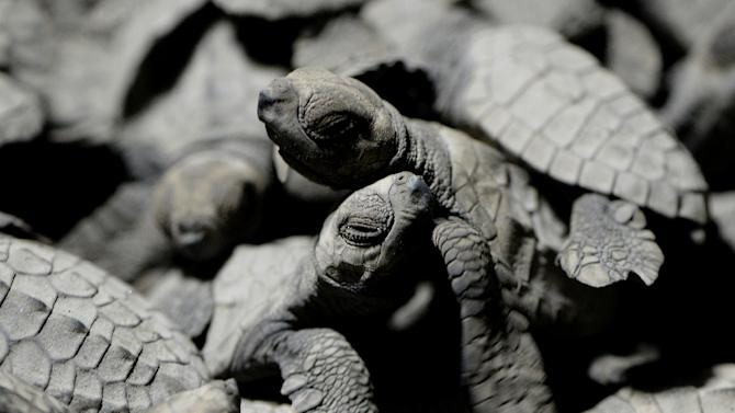 Olive ridleys are among five species of sea turtles in the Philippines that are in danger of extinction, mostly because they are prized as a protein-rich food