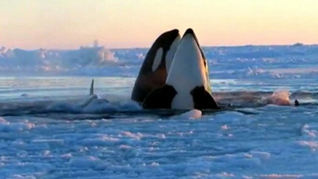 Trapped Killer Whales Free Themselves (ABC News)