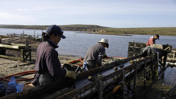 In this photo taken Wednesday Nov. 21, 2012, workers sort freshly harvested oysters at the Drakes Bay Oyster Company in Point Reyes National Seashore, Calif. U.S. Interior Secretary Ken Salazar on Thursday, Nov. 29, 2012,  said he will shut down an historic Northern California oyster farm along Point Reyes National Seashore, designating the site as a wilderness area.  Salazar said he will not renew the Drakes Bay Oyster Co. lease that expires Friday. The move will bring a close to a years-long environmental battle over the site.  (AP Photo/Eric Risberg)