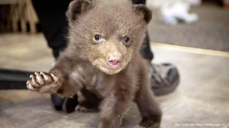 Bear cub left at Tahoe rescue organization