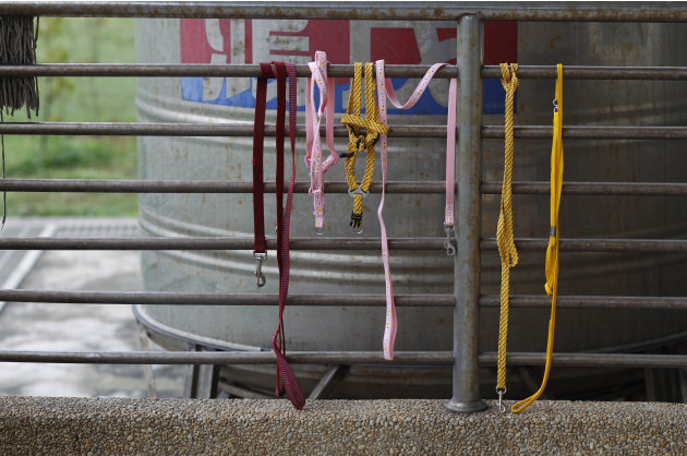 In this photo taken on Monday, April 9, 2012, the leashes of dogs put down that day hang from a metal fence at a government-run shelter in0 Taoyuan, northern Taiwan. In an ongoing project, Taiwanese ph