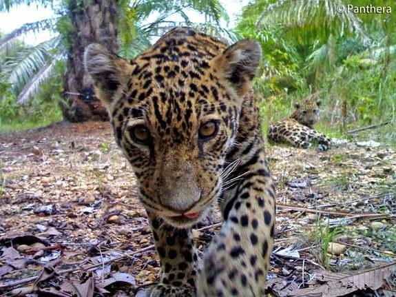Rare Photos Reveal Elusive Jaguar Cubs on Oil Plantation