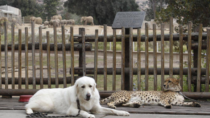 In this Nov. 29, 2012 photo, Shiley, a male cheetah 3-and-a-half-years-old, and Yeti, a female Anatolian shepherd who serves as Shiley's partner, take a break outside the elephant enclosure during a walk through Safari Park, in Escondido, Calif.  Although the dogs and cats live together, they are not always with one another. Dogs have play dates with other dogs and humans, and they eat separately from the cheetahs. (AP Photo/Lenny Ignelzi)