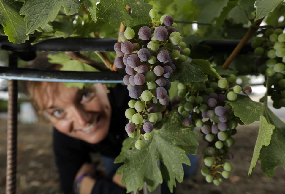 Warm weather means early Calif. wine grape harvest