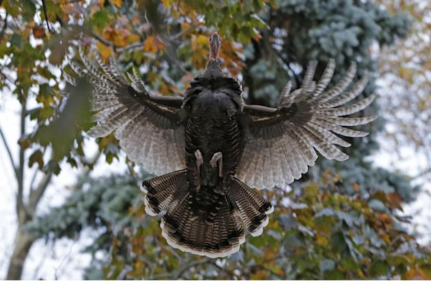 A wild turkey flies up to it's evening roost, a tree in the front yard of Mary Jane Froese's parents, on Staten Island, Monday, Nov. 11, 2013, in New York. The turkey belongs to a population o
