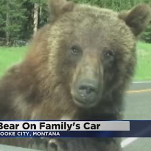 Bear Hops On Car Outside Yellowstone