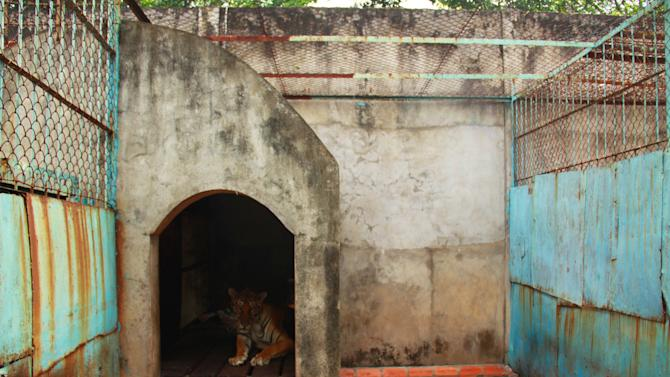 FILE - In this file photo taken on July 4, 2012, a tiger lies in a concrete shelter at a tiger farm in southern Binh Duong province, Vietnam. Conservationists allege that Vietnam's 11 registered tiger farms are merely fronts for a thriving illegal market in tiger parts, highly prized for purported - if unproven - medicinal qualities. (AP Photo/Mike Ives, File)