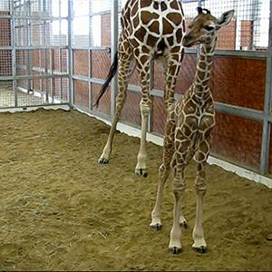 Raw: Dallas Zoo Welcomes Baby Male Giraffe