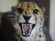 A picture taken on February 2, 2012, shows a cheetah at the Amneville zoo, eastern France. AFP PHOTO JEAN-CHRISTOPHE VERHAEGEN
