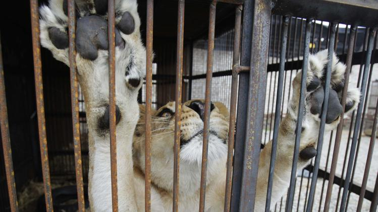 """Rescused lioness """"Amazonas"""" is seen in its cage during quarantine at a temporary custody centre in Lima"""