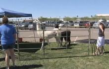 New chapter for Arizona llamas on the lam