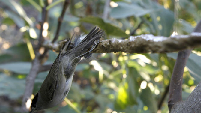 In this Nov. 3, 2012 photo, a bird is caught on a sticky lime stick that poachers in Cyprus use to trap songbirds in the Larnaca district of Cyprus. Small birds, called ambelopoulia in Greek, are considered a delicacy in Cyprus andpoachers supply a lucrative market.Amid an economiccrisis thathas seen unemployment hit recordlevels on the east Mediterranean island,jobless people are turning to poaching to help them make ends meet.(AP Photo/Petros Karadjias)