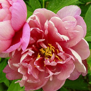 'Pink Double Dandy' Itoh hybrid peony
