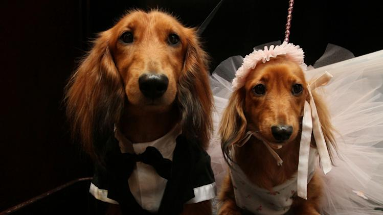 "Dachshunds dressed for the occasion, Clifford, left, and his cousin Dee Dee, wait to take part in the most expensive wedding for pets Thursday July 12, 2012 in New York.  The black-tie fundraiser, where two dogs were ""married"", was held to benefit the Humane Society of New York. (AP Photo/Tina Fineberg)"