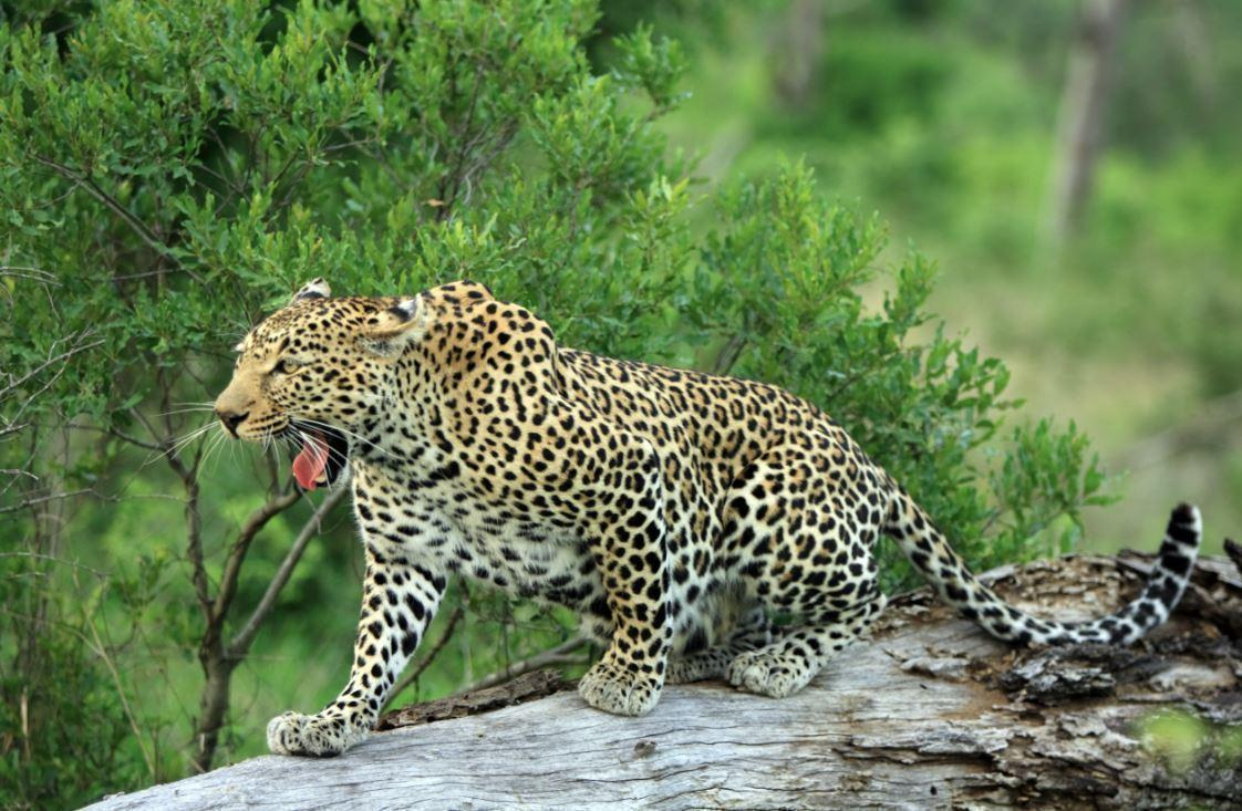 Six-Year-Old Boy Snatched By Leopard At South African Park
