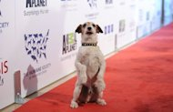 "Uggie, canine star of the Oscar-winning film ""The Artist,"" pictued here in March 2012, is to put paw to paper and come out with an autobiography about his dramatic rise from condemned dog to Hollywood darling"