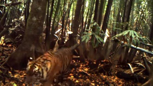 Video Reveals Rare Tiger Cubs in Sumatran Forest