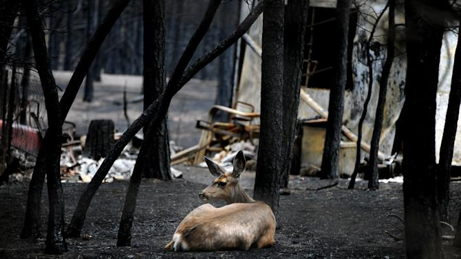 A deer lies in ash near the ruins of a home on Brentwood Drive near Colorado Springs, Colo., Monday, June, 17, 2013. Investigators believed Colorado's Black Forest Fire was human-caused, and were going through the charred remains of luxury homes destroyed and damaged in it last week. (AP Photo/The Colorado Springs Gazette, Carol Lawrence) MAGS OUT
