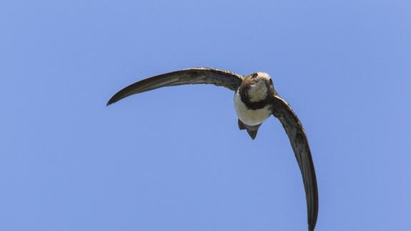 Swift Record! Migrating Birds Fly Nonstop for 6 Months