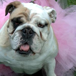 Bulldog Beauty Contest Has Style and Sass