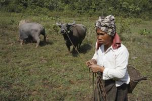 A villager leads her buffalos in Khammouane provin …