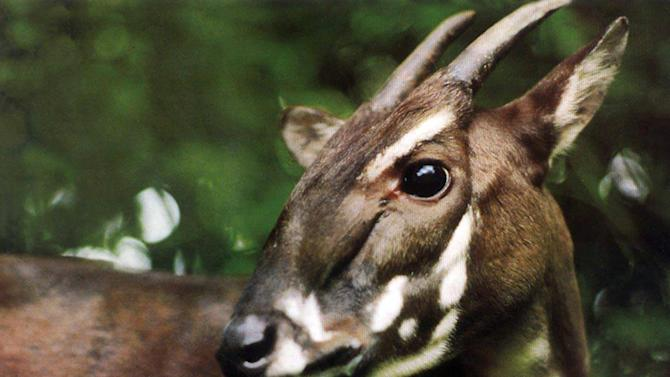 This photo taken in 1993 and released by WWF shows a Saola in Vietnam when it was captured. It was one of two Saola captured alive in central Vietnam, but both died months later in captivity. Saola, one of the rarest and most threatened mammals on earth has been caught on camera in Vietnam for the first time in 15 years in September in central Vietnam, renewing hope for the recovery of the species, international conservation group WWF said Wednesday, Nov. 13, 2013. (AP Photo/WWF)