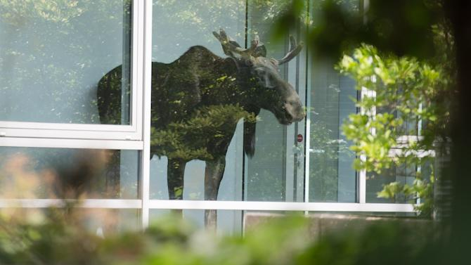 Ayoung moose stands behind a window in an administration building of Siemens in Dresden, Germany Monday Aug. 25, 2014. Police are trying to capture a moose on the loose in the eastern German city of Dresden. A spokesman for Dresden police says the young bull walked into the offices of German industrial giant Siemens on Monday and got stuck behind a glass wall. Marko Laske says officers and wildlife are trying to shoo the moose into a container so he can be taken to the local zoo. Moose are rare in Germany and the animal is likely to have come from neighboring Poland. (AP Photo/dpa,Arno Burgi)