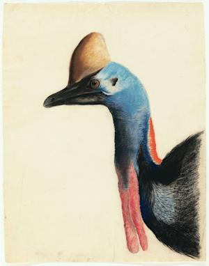 """This 1812 image provided by the New-York Historical Society of the head of a  Southern Cassowary is one of 474 bird watercolors by John James Audubon in the collection of the New-York Historical Society, which is mouting three exhibitions of all of its Audubon images over three years. The 474 watercolors include 435 that were engraved for Audubon's monumental """"The Birds of America."""" It's considered the greatest book of printed engravings ever produced. The first group went on view March 8. (AP Photo/New-York Historical Society, John James Audubon)"""
