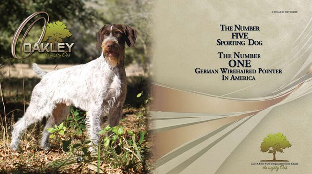 An ad for Oakley, the top ranked dog heading into Westminster (via Blue Rose Kennels)