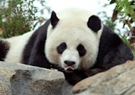 <p>File photo of Mei Xiang at the National Zoo in Washington, DC. A baby giant panda born to Mei Xiang just one week ago at the National Zoo died Sunday of still to be determined causes.</p>