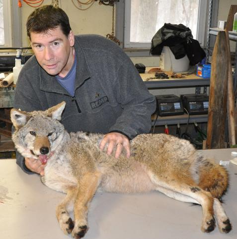 Urban Coyotes Could Set Stage for Larger Predators