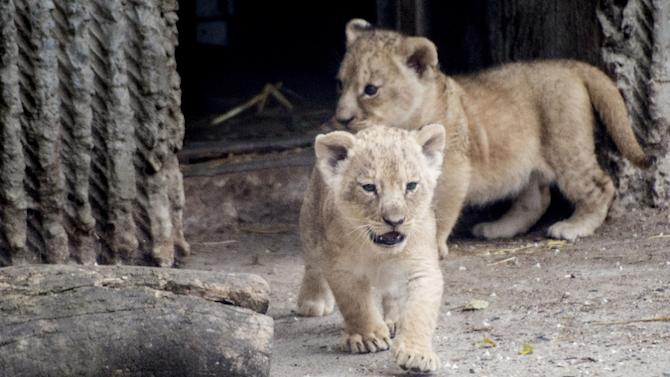 Giraffe-Killing Danish Zoo Defends Decision to Put Down Four Healthy Lions