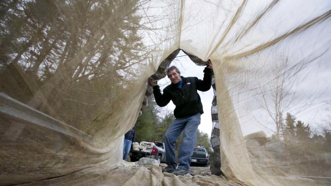 High prices expected for Maine elver season
