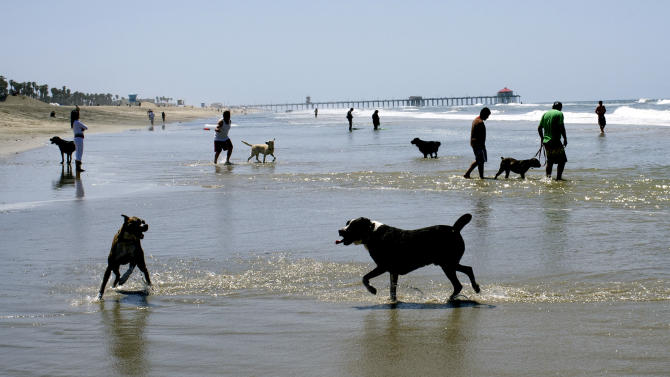 This Sunday May 27, 2012 photo shows dogs and their owners enjoying a sunny afternoon at the Huntington Dog Beach in Huntington Beach, Calif. Huntington, also known as Surf City USA, is one of the best known dog surfing beaches in the world. There are about 95,000 miles of shoreline around the United States and among the most treasured by dog lovers are those where you can unleash the beast. (AP Photo/Richard Vogel)